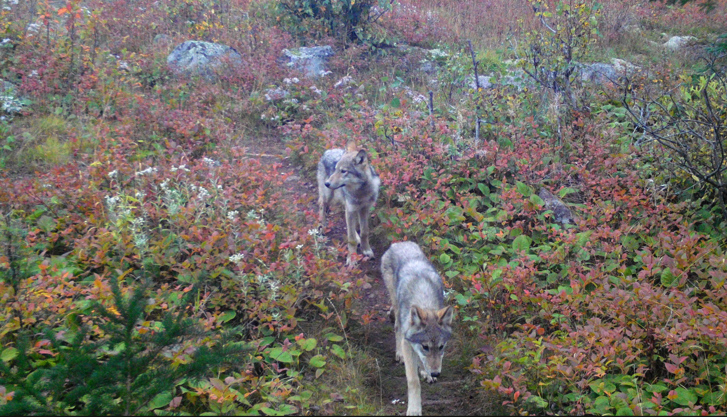 Two Wolf Pups Trot Down A Trail surrounded by low bushes.