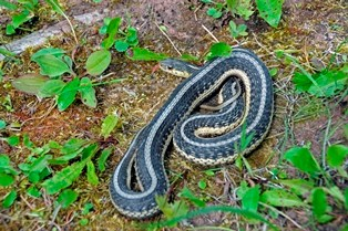 Eastern Garter Snake on the ground