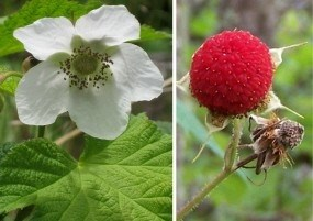 Flower and fruit of the common shrub thimbleberry.