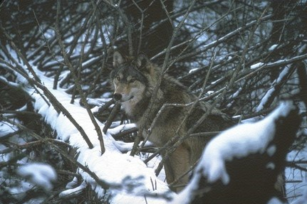 A wolf looks at the camera on the ground between branches of a fallen tree in snow.