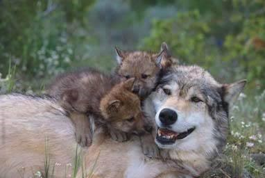A large wolf lies down with two pups on top