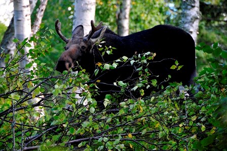 A moose in brush.