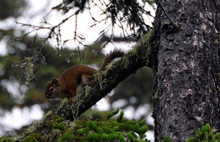 Red Squirrel climbs down a branch
