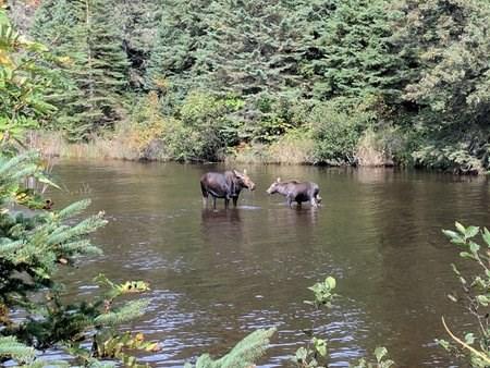 Moose - Isle Royale National Park (U S  National Park Service)