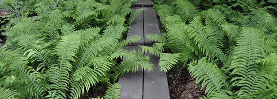 A trail through the ferns