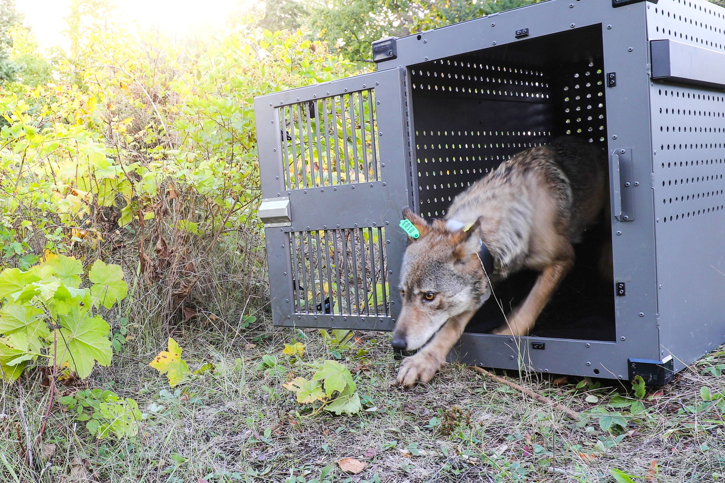 A female wolf emerges from her crate on the island