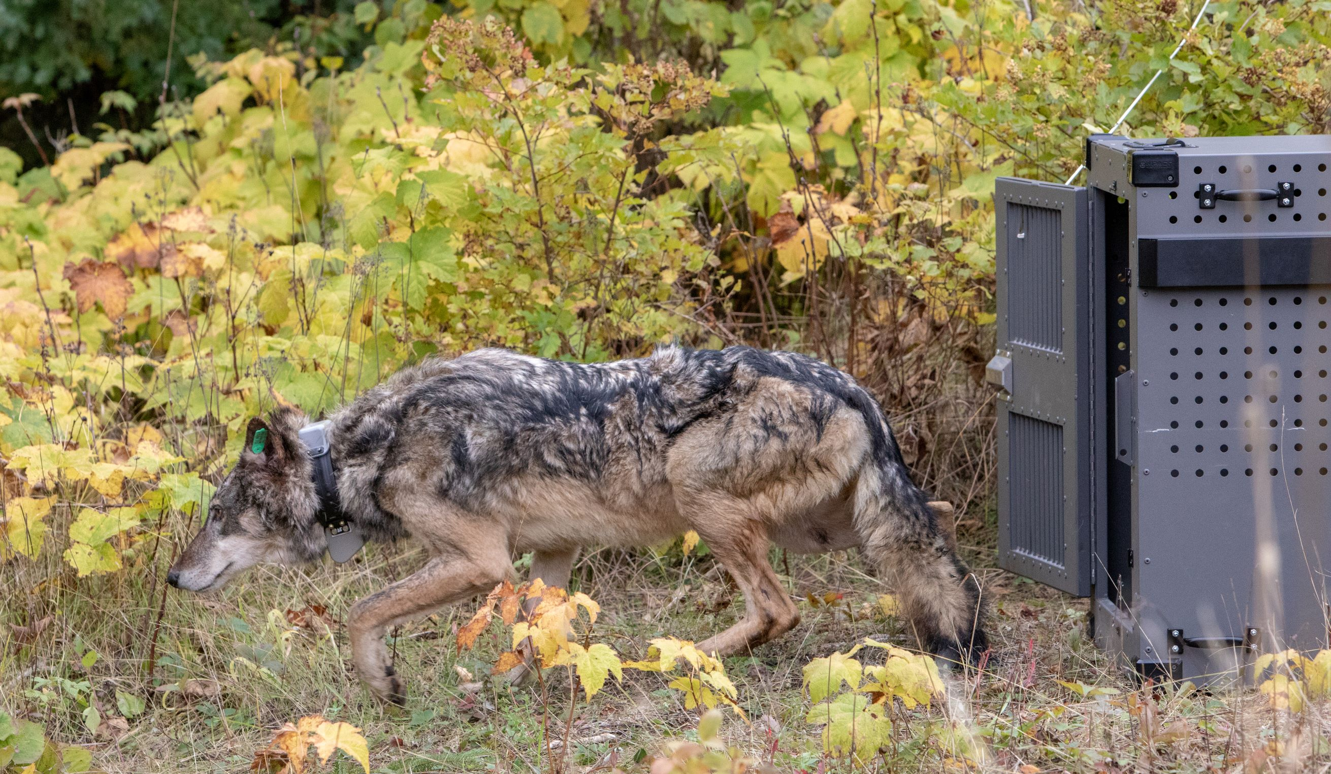A wolf with dark coloration is shown mid-stride walking from a crate.