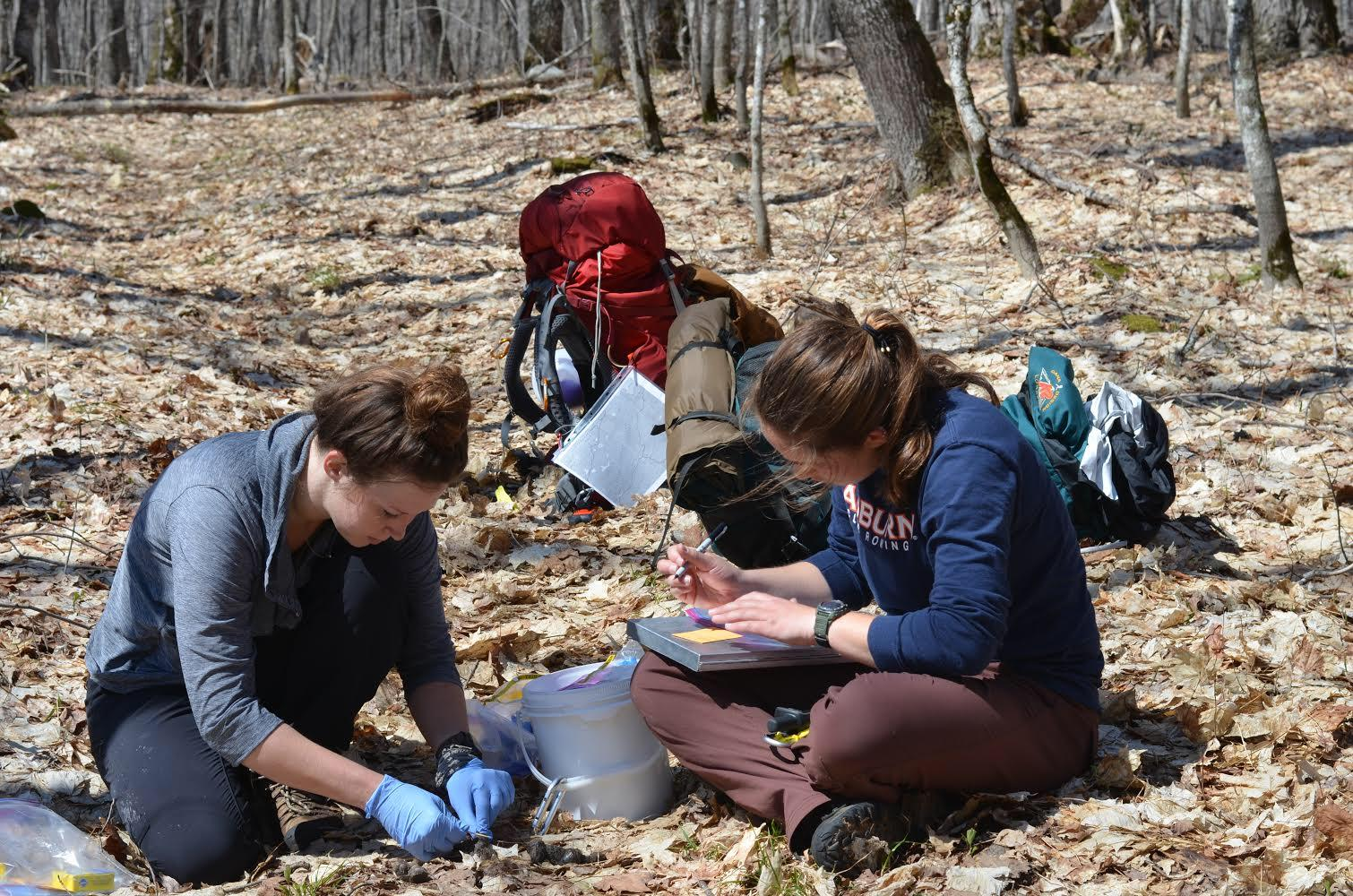 Two researchers kneel and sit around wolf scat recording information.