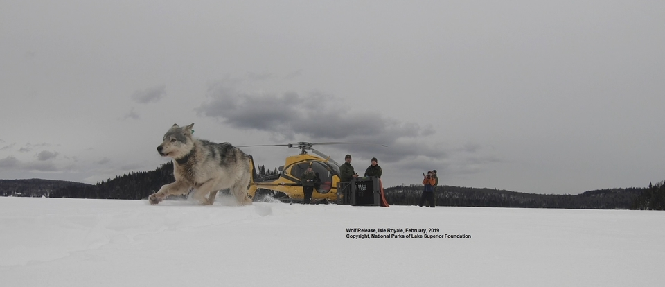 Photo shows a wolf running on snow with a helicopter and staff in the background