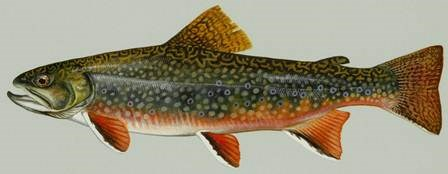 Coaster Brook Trout depiction.