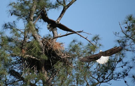 Eagles Flying around a nest