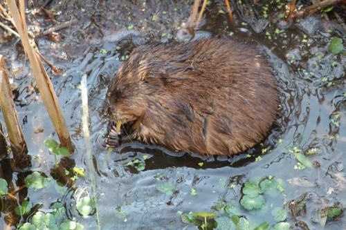 Muskrat feeding in Pitch and Tar Swamp