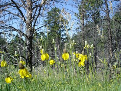 Yellow prairie coneflowers mingle with grasses on the edge of ponderosa pine forest.