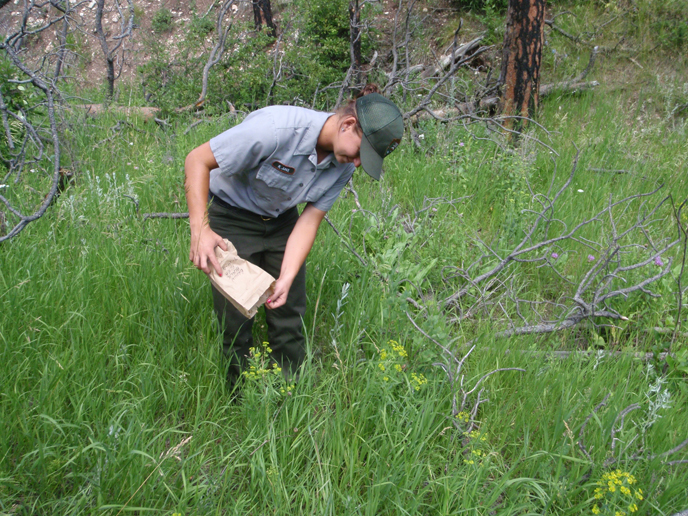 A park employee releases flea beetles on leafy spurge plants in July, 2009.  Flea beetles have been released at 27 leafy spurge sites since 1994.