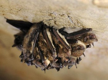 A group of bats cling to the roof of a cave.