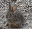 Photo of an eastern cottontail rabbit at Jewel Cave National Monument