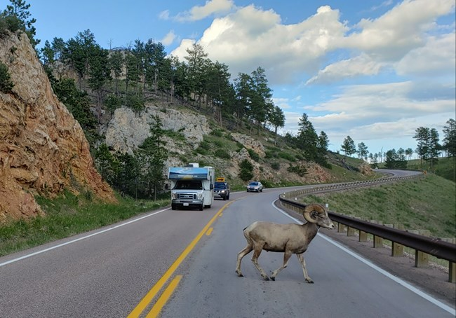 A large bighorn sheep ram crosses a highway, with vehicles safely stopped in their lanes.