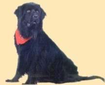 Image of a Newfoundland dog
