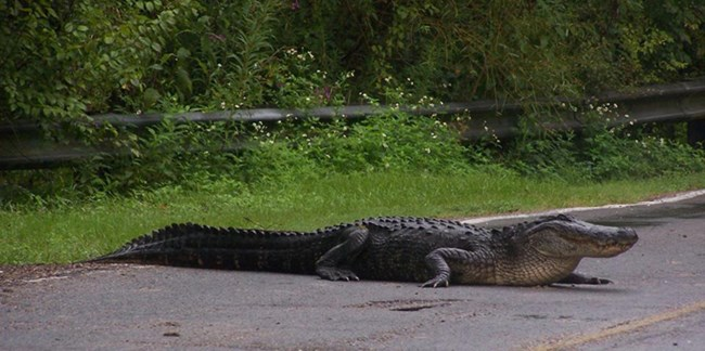 Image of alligator walking across road