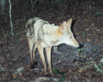 Coyote in dark woods
