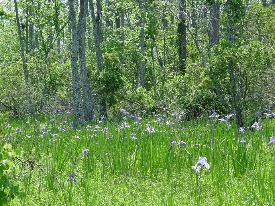 Giant blue irises in bloom in the swamp