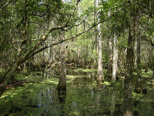 Sunlight falls on baldcypress trees in a swamp