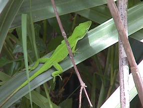 A green anole rests on a wide blade of grass