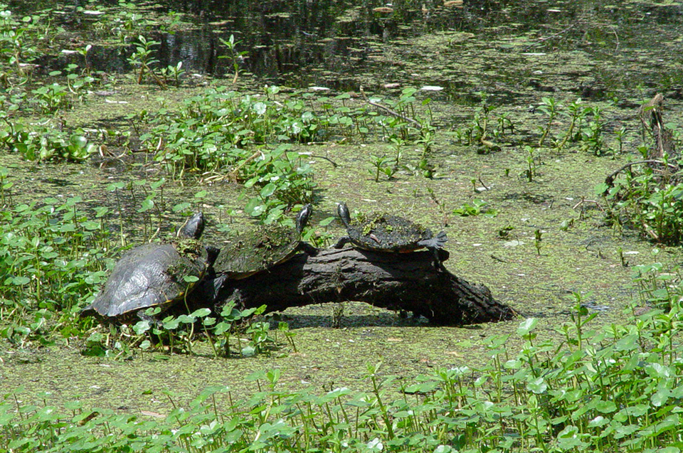 Three turtles on a log enjoy the sunshine