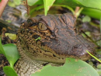 Image of alligator peering out from between leaves
