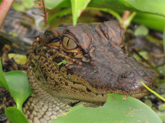 Image of young alligator peering through vegetation