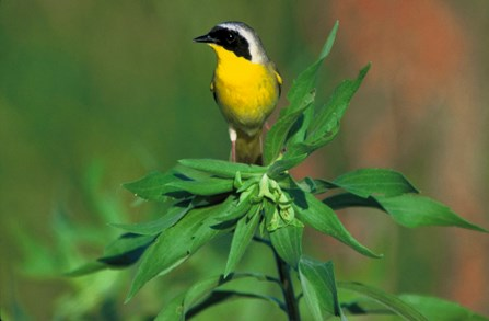 Image of common yellowthroat, a bright yellow bird with a black mask on its face