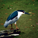 Imge of black-crowned night heron