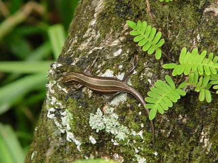 Image of five-lined skink on a tree trunk