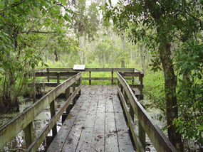 A boardwalk trail and deck stretch out into the green trees of the Barataria Preserve over high water in the swamp.