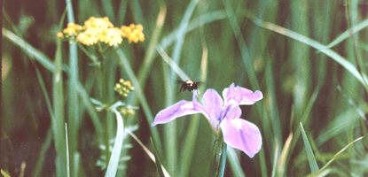 A bee hovers near a purple iris while yellow flowers bloom in the background