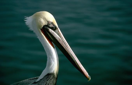 Image of pelican