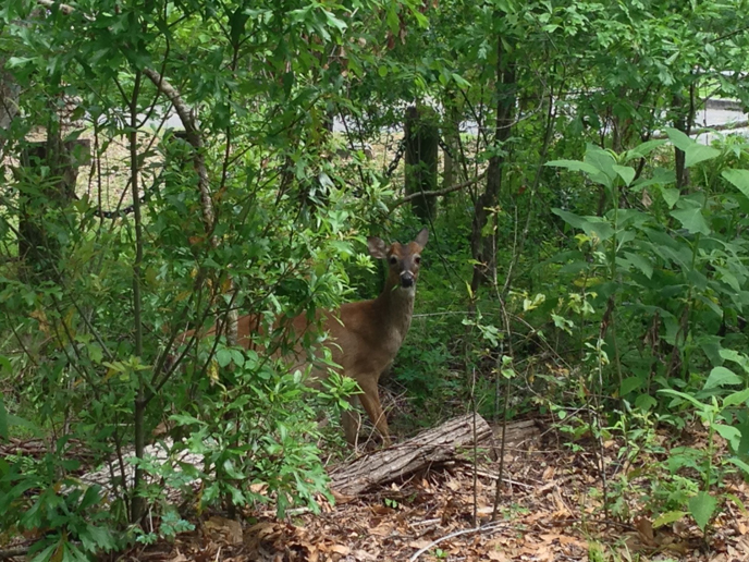 White-tailed deer standing among trees