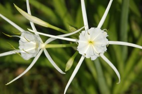 White spider lilies in bloom at the Barataria Preserve