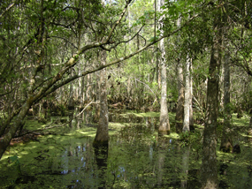 Sunlight streams through trees and onto standing water in the Barataria Preserve swamp.