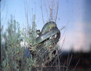 Image of a racer snake on a sagebrush