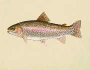 Image of a steelhead salmon