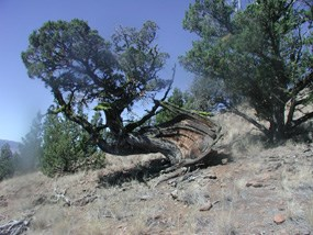 Image of a very old, twisted juniper tree.
