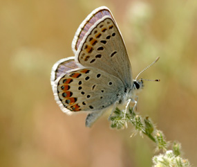 Image of a Melissa's blue butterfly.