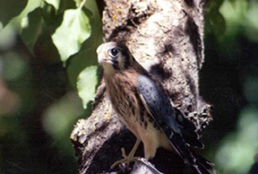 Image of an American Kestral
