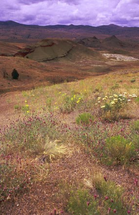 Image of wildflowers at the Painted Hills.