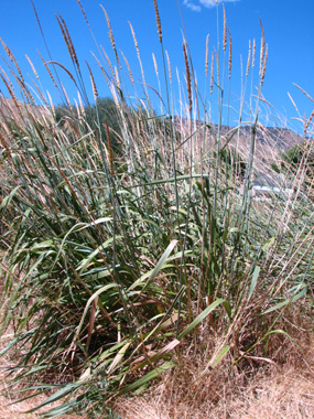 Image of great basin wild rye grass