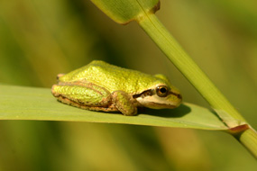 Image of pacific tree frog, resting on a blade of grass.