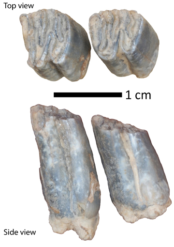 Fossil beaver teeth