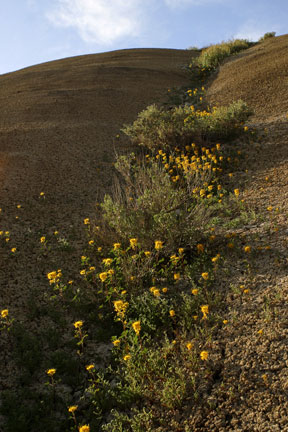 The bright yellow Golden Bee Cleome wildflower is found at Painted Hills and grows in the drainages.