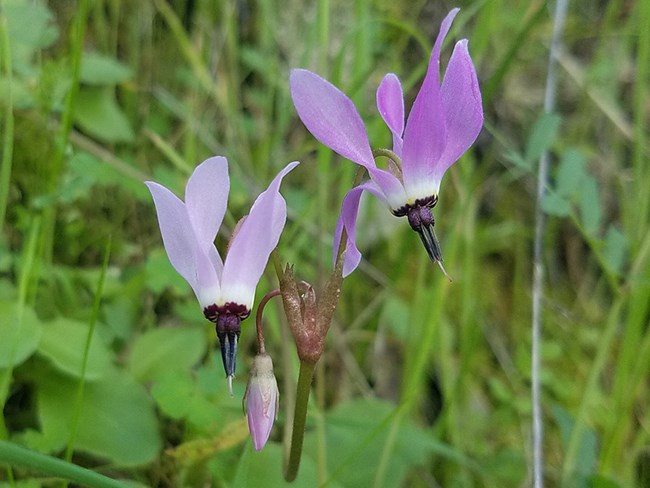 Close up or purple flowers in green grass.